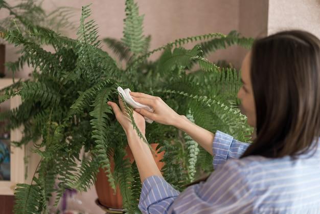 La donna in camicia blu asciuga le foglie di felce dalla polvere con un panno umido, cura del concetto di piante d'appartamento