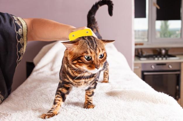 Donna pettina il suo gatto bengala