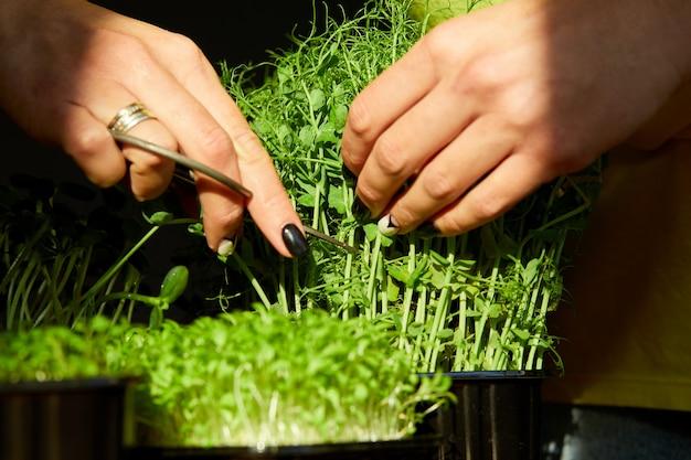 Donna tagliata con le forbici microgreen al tavolo di legno