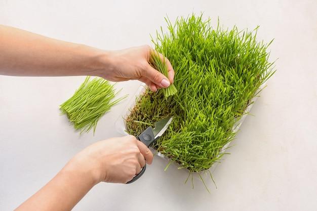 Donna che taglia wheatgrass su sfondo chiaro