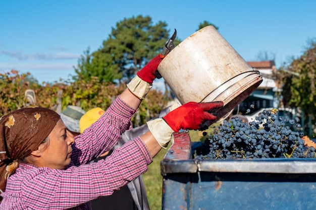 Donna contadina svuota secchi di uva raccolta all'interno di un rimorchio a kakheti, georgia.