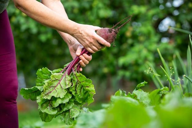 Una donna coltivatrice che raccoglie barbabietole fresche dal suo enorme orto biologico, concetto di giardinaggio