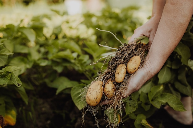 Coltivatore della donna che zappa o che raccoglie patate fresche da lei un orto biologico, concetto di giardinaggio