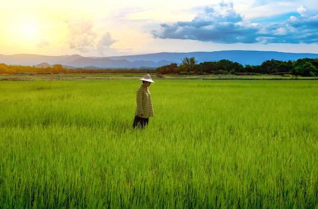 La contadina sta guardando le piantine di riso verde in una risaia con un bel cielo e nuvole
