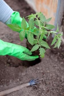 Coltivatore donna trapianta piantine di pomodoro in serra, primo piano delle mani