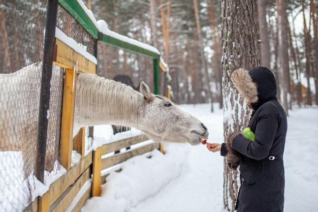 Una donna alimenta un cavallo nello zoo in inverno. il cavallo ha infilato la testa attraverso la recinzione e sta mangiando
