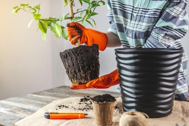 Una giardiniera in guanti trapianta un giovane albero di arancio nel terreno da un vaso piccolo a uno grande