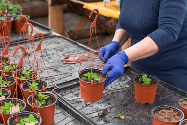 Giardiniere della donna che pianta piantine di petunia in vasi sospesi
