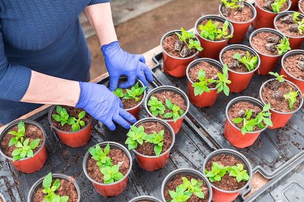 Giardiniere donna reimpianto piantine di petunia in vasi per piante