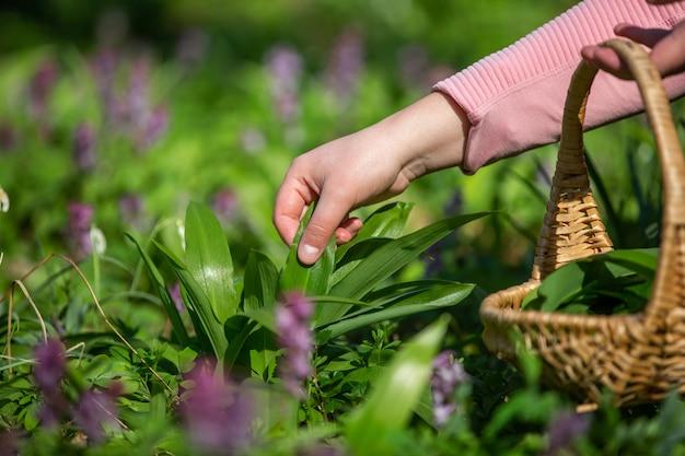 Raccolta della donna, raccolta dell'aglio fresco dell'orso nella foresta, aglio selvatico, erboristeria, concetto di cibo