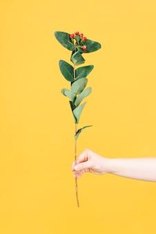 Mano della donna che tiene fiore con bacche rosse e foglie verdi su sfondo giallo. lay piatto. sfondo di fiori.