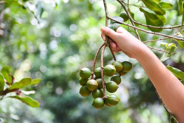 Mano della donna che tiene noce di macadamia in naturale sull'albero di macadamia in fattoria