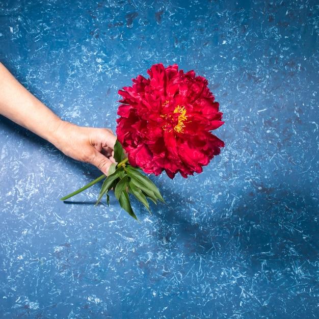 Mano della donna che tiene una bella peonia rosso brillante su sfondo blu strutturato in stile moderno e alla moda con le ombre. biglietto di auguri festivo con fiore per la festa della mamma o la festa delle donne. foto quadrata.