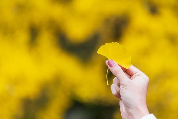Mano della donna che tiene foglia gialla del ginkgo biloba