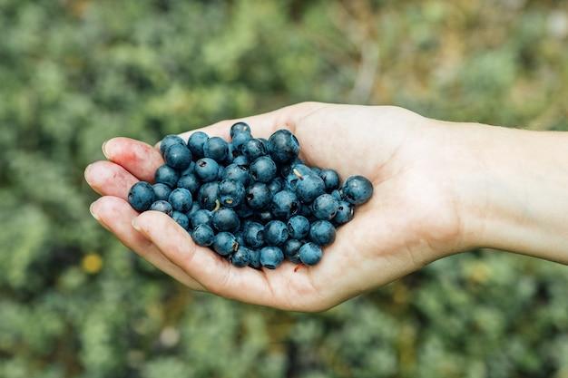 La donna passa la raccolta dei mirtilli maturi. palma piena di frutti di bosco