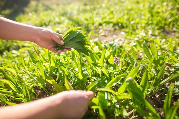 Donna che raccoglie l'aglio fresco dell'orso nella foresta durante la stagione primaverile, erboristeria, erba, concetto di cibo