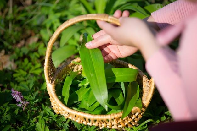 Donna che raccoglie foglie di aglio orso fresco nella foresta, erboristeria, erba per cucinare, concetto di cibo