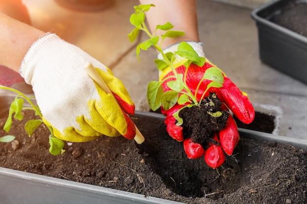 Una donna tiene in mano una piantina di petunia che è cresciuta da una compressa di torba trapiantando piantine in vasi di torba concetto di giardinaggio primaverile