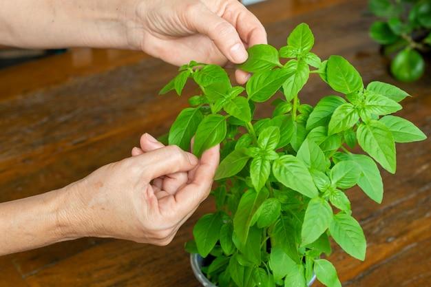 Donna raccolta foglie di basilico per condimento alimentare.