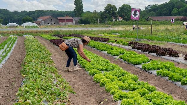 Donna raccolta insalata nel campo