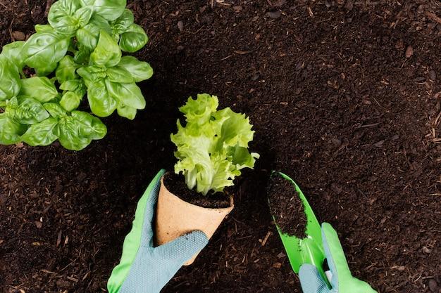 Donna che pianta giovani piantine di insalata di lattuga nell'orto