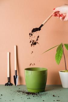 Una donna pianta un avocado da un seme germogliato in una pentola