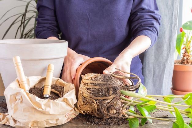 Donna che ripianta zamioculcas fiorisce in un nuovo vaso di terracotta marrone, il trapianto di pianta d'appartamento a casa