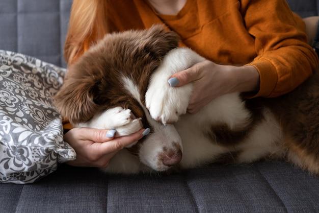 Donna di mano che copre piccolo carino pastore australiano rosso tre colori cucciolo di cani occhi con zampa. amore e amicizia tra uomo e animale. nascondersi
