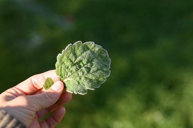 La mano di una donna tiene una foglia d'erba verde con brina mattutina su sfondo naturale verde sfocato