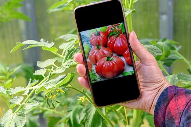La mano della donna tiene un telefono con una foto di pomodori che ha piantato in una serra.