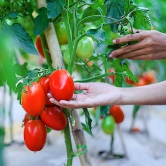La mano della donna che raccoglie i pomodori ciliegia rossi maturi nell'azienda agricola della serra Foto Premium