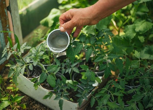 La mano di una donna versa l'acqua sulle piantine in vaso. germogli di pomodoro in serra. giardinaggio e giardinaggio nella stagione primaverile.