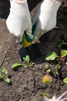 La mano di una donna in un guanto da giardino bianco raccoglie le erbacce con una pala da giardino. giardinaggio, concetto di controllo delle infestanti.