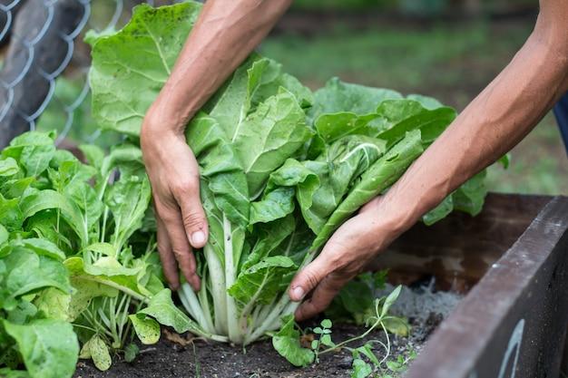 Mani della donna che raccolgono bietole nel giardino