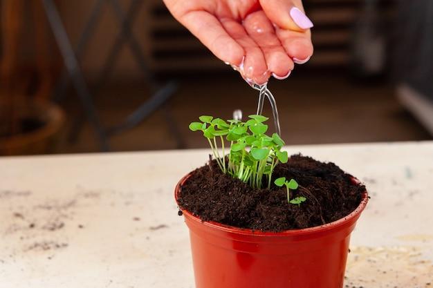 Mani della donna che piantano i germogli in vaso con sporcizia o terreno nel contenitore
