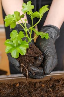Donna che trapianta pelargonium o pianta nel vaso più grande piantando fiori a casa sul balcone