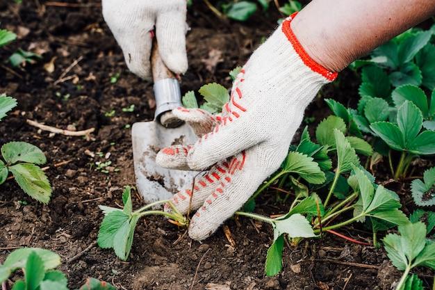Donna erbaccia le erbacce della fragola in campo, processo di lavoro. foto di alta qualità