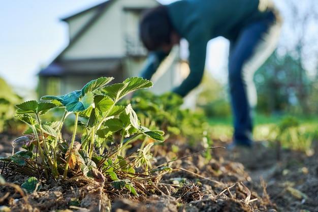 Donna diserbo i letti di fragole nel giardino con una casa di campagna sullo sfondo