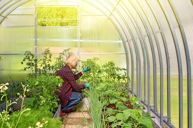 La donna lavora in una serra, esaminando i cetrioli e i pomodori piantati.
