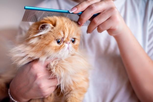 Mano di womans spazzolatura gatto esotico a pelo corto Foto Premium
