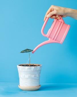 La mano di una donna tiene un annaffiatoio rosa e innaffia una pianta d'appartamento in un vaso leggero