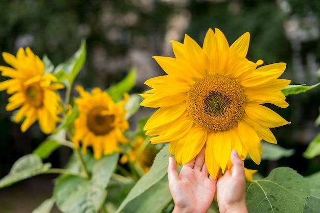 La mano della donna con i girasoli che fioriscono in estate