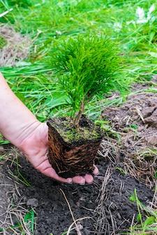 Le mani della donna che tengono il piccolo germoglio di pianta di conifera verde dal vaso con terreno, terreno su fondo di natura erba preparando a piantare in giardino, foresta, parco. eco friendly, organico, concetto di ecologia.