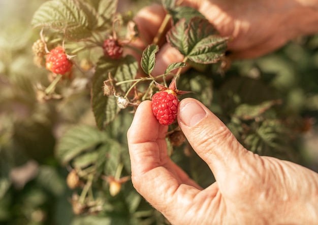 Donne che raccolgono a mano frutti di lampone rossi dal cespuglio del giardino bacche fresche mature sul ramo da vicino