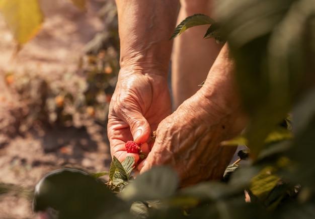 Donne che raccolgono a mano fruis di lamponi rossi dal cespuglio in una bacca fresca matura di estate soleggiata sul ramo