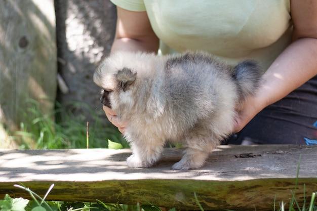 Le mani delle donne tengono un piccolo cane soffice un cucciolo di pomerania di due mesi.
