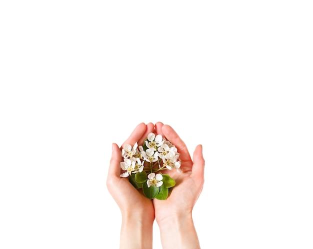 Le mani delle donne con i fiori di melo bianco nei palmi su uno sfondo bianco isolano. tempo di primavera, amore, tenerezza. cura della pelle, cosmetici naturali.