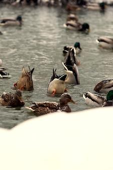 Meraviglioso paesaggio invernale con anatre selvatiche che nuotano nel fiume
