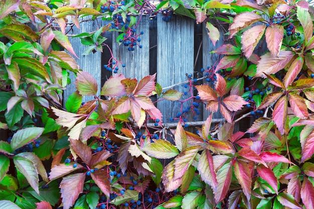 Grata di legno con foglie rosse di uva selvatica.