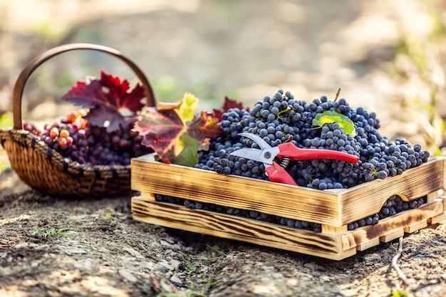 Una cassetta di legno e un cesto di legno adagiati per terra pieni di uva. decorato anche con foglie autunnali e forbici per vite.